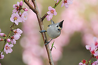 Black-crested Titmouse (Baeolophus atricristatus), adult on blooming peach tree (Prunus persica), New Braunfels, San Antonio, Hill Country, Central Texas, USA
