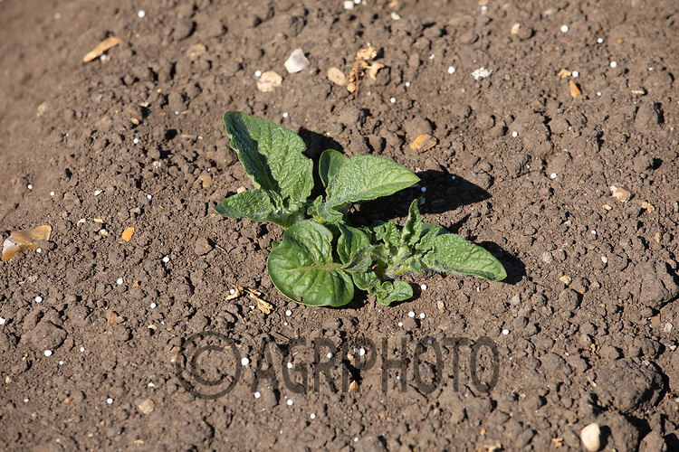 21.5.2020 Potato plants with nitrogen around them<br /> ©Tim Scrivener Photographer 07850 303986<br />      ....Covering Agriculture In The UK....