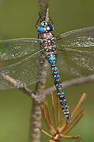339220003 a wild male arroyo darner rhionaeschna dugesi perches on a small tree branch near a creek in scotia canyon cochise county arizona united states