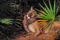 Florida Panther (Felis concolor coryi) grooming in pine and saw palmetto forest. Endangered Species. Florida.