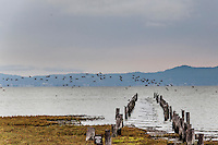 A flock of shore birds passes over the pilings of a long abandoned pier on San Francisco Bay.  In the background, the Santa Cruz Mountains define a waving horizon.