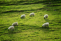 Sheep grazing on hillside. Glenariff. Northern Ireland.