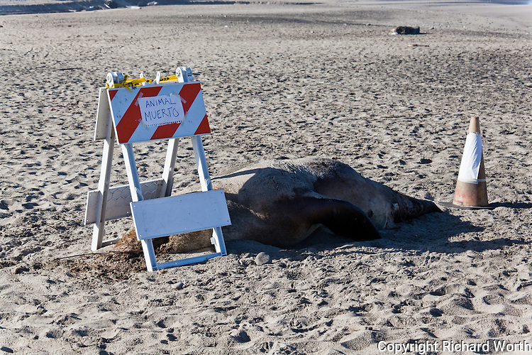 """By day 20 a barricade and hazard cone have been placed over and behind the dead steller sea lion with handwritten signs - """"ANIMAL MUERTO"""" on one side and """"DEAD ANIMAL"""" on the other."""