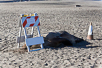 "By day 20 a barricade and hazard cone have been placed over and behind the dead steller sea lion with handwritten signs - ""ANIMAL MUERTO"" on one side and ""DEAD ANIMAL"" on the other."