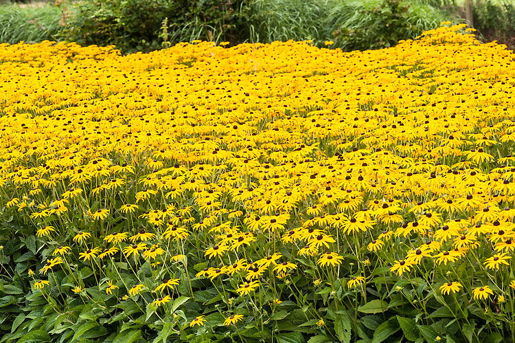 Mass planting of Black-eyed Susan (Rudbeckia fulgida), late August.