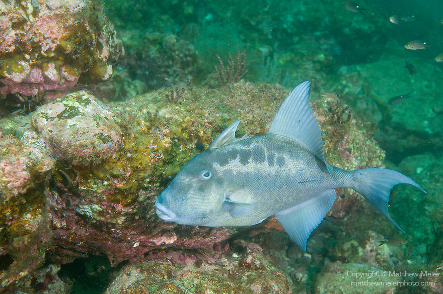 Sea of Cortez, Baja California, Mexico; a Finescale Triggerfish (Balistes polylepis) swimming over the rocky reef