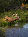 A bull elk in velvet steps into a stream in  evening sunlight in western Montana