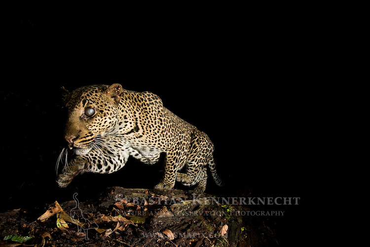 African Leopard (Panthera pardus) male, with Fire Ant (Solenopsis sp) damaged eyes, crossing log bridge at night, Lope National Park, Gabon