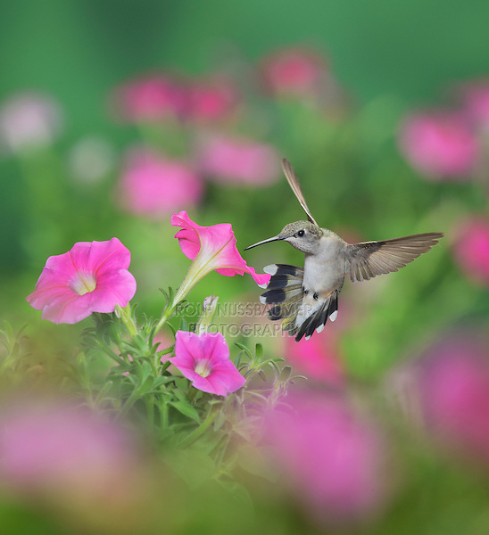 Ruby-throated Hummingbird (Archilochus colubris), female in flight feeding on Petunia  flowers, Hill Country, Texas, USA