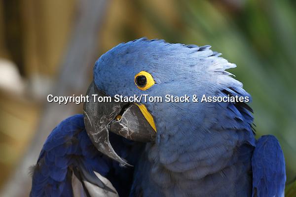 Hyacinth macaw, Anodorhynchus hyacinthinus, a Threatened Species.