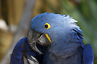 Hyacinth macaw, Anodorhynchus hyacinthinus, a Threatened Species. (captive)