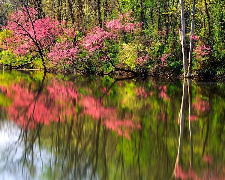 Morning light on Redbud trees at Lost Pond; Kickapoo State Park, IL