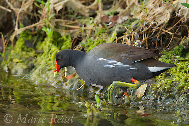 Common Moorhen (Gallinula chloropus) foraging at algae-covered edge of pond, Merrit Island National Wildlife Refuge, Florida, USA