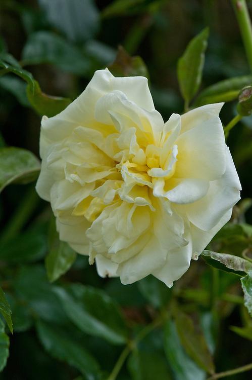 Rosa 'Alberic Barbier', mid June.