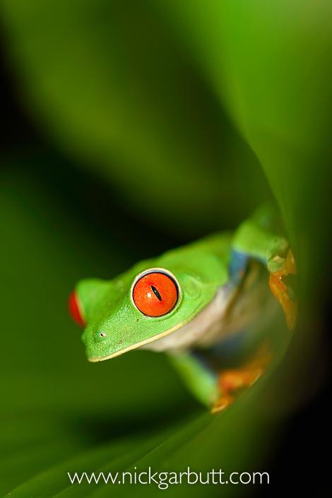 Male Red-eyed Tree Frog (Agalychnis callidryas) - Caribbean slope race (blue flanks) inside a curled leaf. Mid-altitude rainforest near Aranal, central Costa Rica.