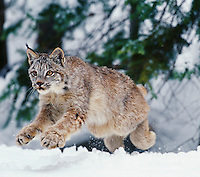 Lynx or Canadian Lynx (Lynx canadensis) pouncing or jumping out of its hiding place.
