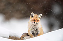 Male Red Fox (Vulpes vulpes) in the snow. Ulley Valley, Ladakh Himalayas, India.