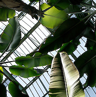 Tropical Rainforest Glasshouse (formerly Le Jardin d'Hiver or Winter Gardens), 1936, René Berger, Jardin des Plantes, Museum National d'Histoire Naturelle, Paris, France. View from below of Musa plants lit by the afternoon light shining through the Art Deco style glass and metal roof.