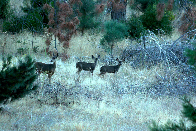 MULE DEER DOE & YEARLING TWIN FAWNS