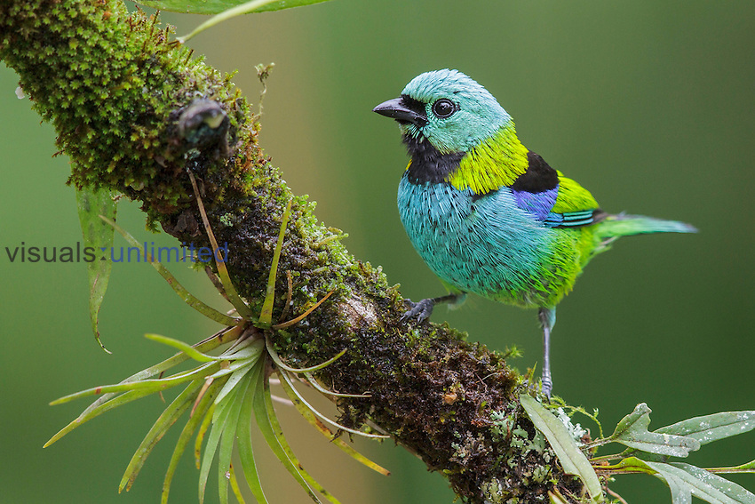 Green-headed Tanager (Tangara seledon), Southeast Brazil.