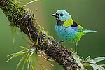 Green-headed Tanager (Tangara seledon), Southeast Brazil.