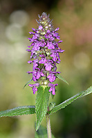Marsh Woundwort - Stachys palustris