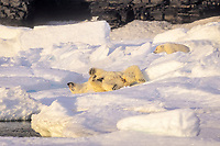 polar bear, Ursus maritimus, mother and cubs, on ice, Northern Baffin Island, Nunavut, Canada, Arctic Ocean