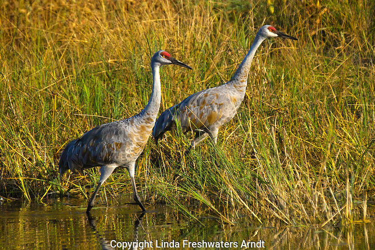 Sandhill Cranes (Grus canadensis) walking together in a marshy area.  Late summer.  Winter, WI.