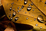 A few droplets of rain remain on an autumn leaf drying in the sun.