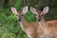 White-tailed Deer, Odocoileus virginianus, young fawns, Comal County, Hill Country, Texas, USA