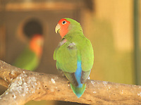 Cute beautiful lovebird sitting on a tree-branch in zoo