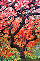 Japanese Maple tree in fall color. Portland Japanese Gardens. Oregon
