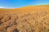 Crop of yellow peas <br /> Webb<br /> Saskatchewan<br /> Canada
