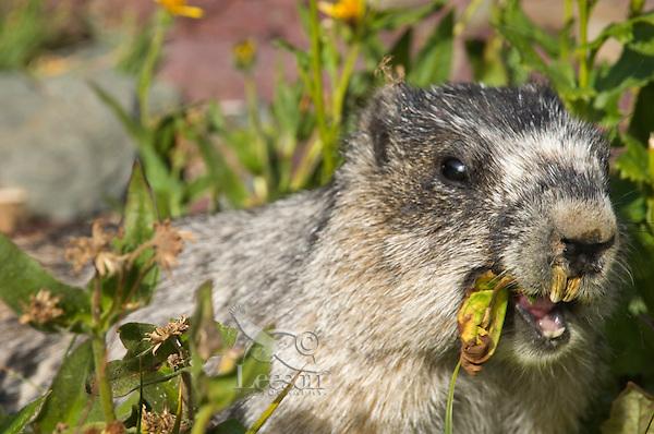 Hoary Marmot (Marmota caligata) eating.  Rocky Mountains.  Sept.