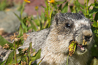 Hoary Marmot (Marmota caligata) eating.  Rocky Mountains.  Sept.