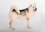 Greenland Dog, Standing, Studio, White Background