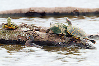 Least grebe in winter plumage and red-eared slider turtles