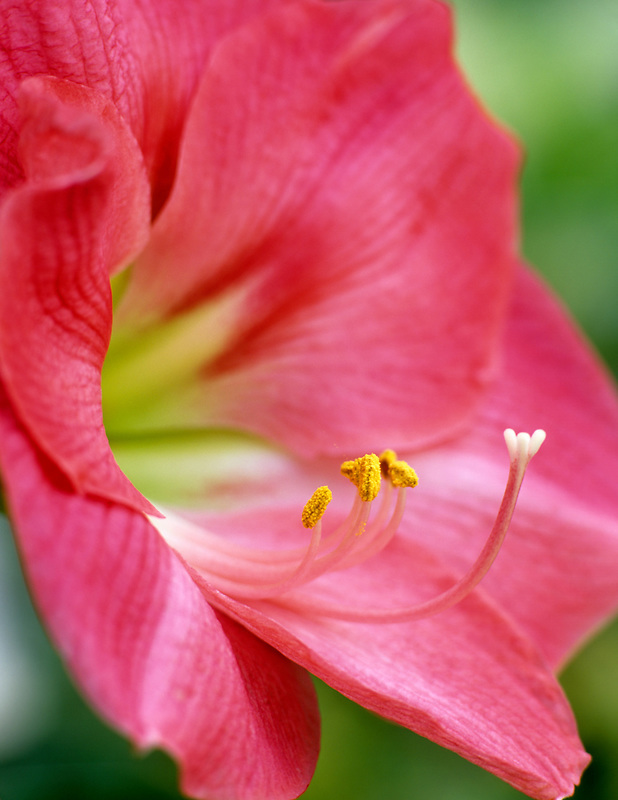 Pink Amaryllis. Johnson Brothers Greenhouses, Coburg, Oregon