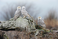 Three Snowy Owls (Bubo scandiacus) perched on driftwood after a night of hunting. Vancouver, British Columbia. January.