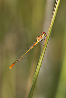 337850001 a wild teneral female painted damsel hesperagrion heterodoxum perches on a water plant stem along bear creek in cochise county arizona united states..GPS: W 31.63417; N -110.56944.