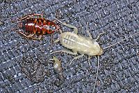 Australische Schabe, Periplaneta australasiae, Periplaneta australasiae, Blatta australasiae, Australian cockroach