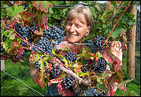 BNPS.co.uk (01202 558833)<br /> Pic: PhilYeomans/BNPS<br /> <br /> Rebecca Hansford of the award winning Furleigh Estate in Dorset.<br /> <br /> Lovely bubbly - 'Perfect' summer for Briish wine.<br /> <br /> Britain's vintners are preparing themselves for a record harvest this year after the hot dry summer has led to huge crop of flavoursome grapes.<br /> <br /> Rebecca Hansford, who runs the Furleigh Estate vineyard with her husband Ian Edwards, said they average about 50,000 bottles of wine a year but this year they are expecting to make more than 100,000.<br /> <br /> And it's not just quantity, the high temperatures have also led to a better quality fruit which should produce a better tasting wine.