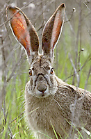 Black-tailed Jack Rabbit, Klamath National Wildlife Refuge, California