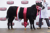 Brecon Show Potential show &amp; Sale,Brecon Livestock Market<br /> Heifer and overall champion Little Miss P owned by P L &amp; O J Watkins sold for &pound;5000 to the judge Mr Blair Dufton <br /> Picture Tim Scrivener 07850 303986<br /> &hellip;.covering agriculture in the UK&hellip;.