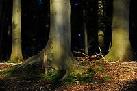 GERMANY, beech forest / Mecklenburg-Vorpommern, intakter Wald, Laubwald mit Buchen