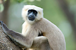 Grey, Common or Hanuman Langur, Semnopitheaus entellus, Corbett National Park, Uttarakhand, Northern India.India....
