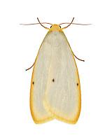 72.038 (2040)<br /> Four-dotted Footman - Cybosia mesomella