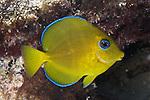 Acanthurus coeruleus, Blue tang, juvenile, Florida Keys