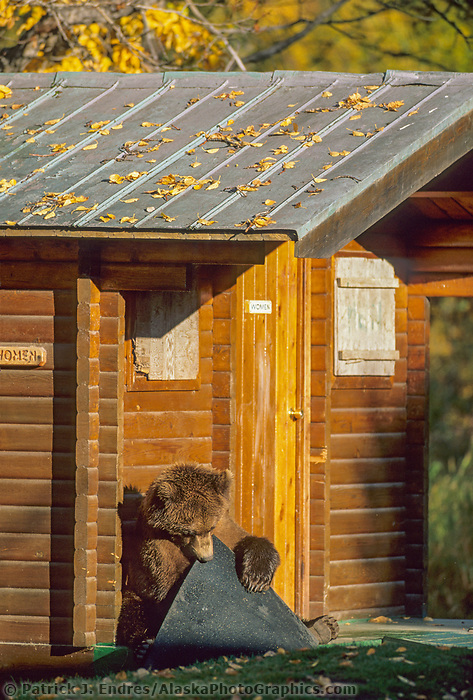 Brown bear chews on door mat of bathrooms at Brooks Lodge, Katmai National Park, Alaska