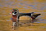 Wood Duck (Aix sponsa), male, Ohio, USA